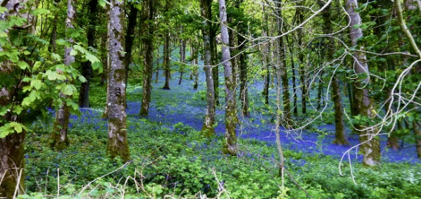 Some of the millions of bluebells out in Wales