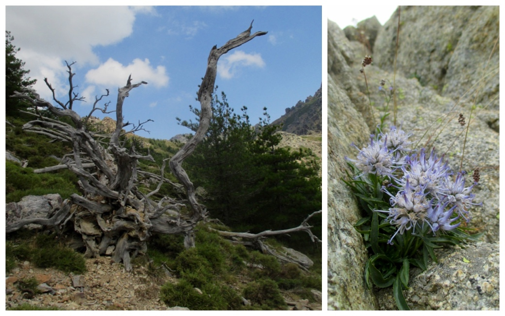 Flora on the GR20: big and small, dead and alive
