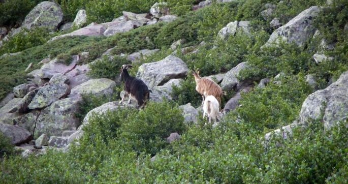 Flocks of mouflon range across the rocky slopes of the island
