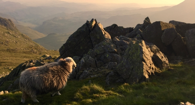 The locals. Herdwick sheep overlooking Eskdale