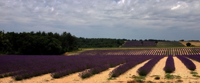 Rows and rows of lavender