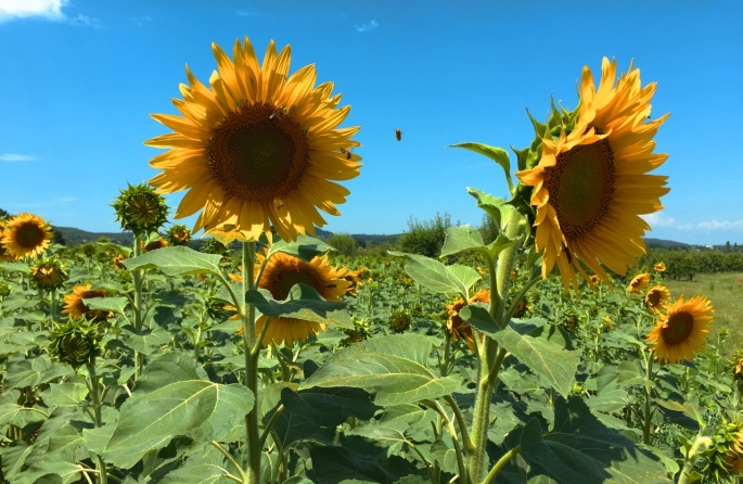 Sunflowers and busy bees