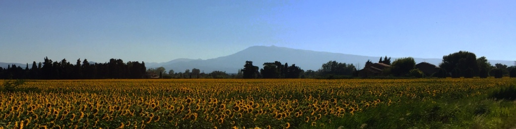 Mont Ventoux behind fields of sunflowers