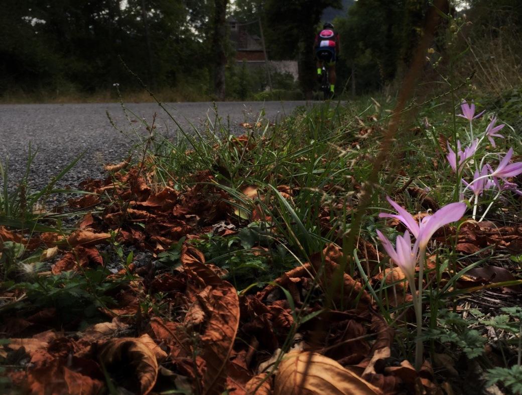 Autumn flowering crocuses by the roadside